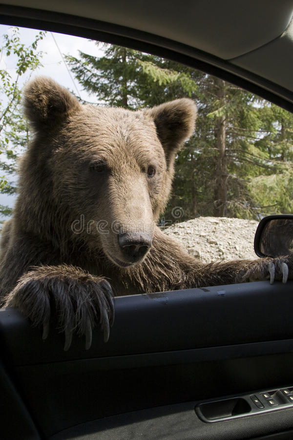 Free Wild Bear On My Car Window Royalty Free Stock Photos - 9951778