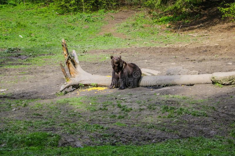 A wild bear stands in a small meadow and looks deep into the forest, animals in the daytime, a log in the meadow stock photography