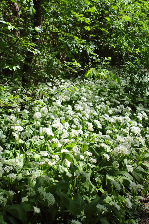 Wild bears garlic Allium ursinum in flower in the riparian forest in Leipzig, Germany stock photo