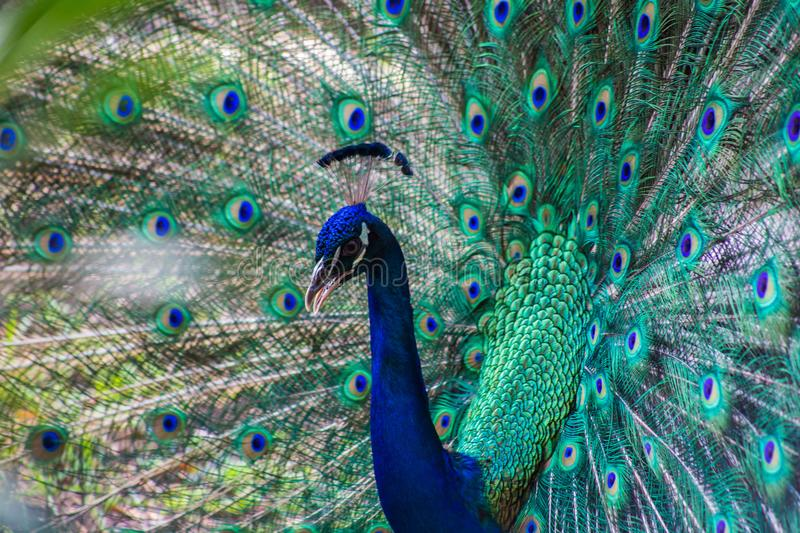 Wild beautiful colorful feathers of a peacock close-up royalty free stock image