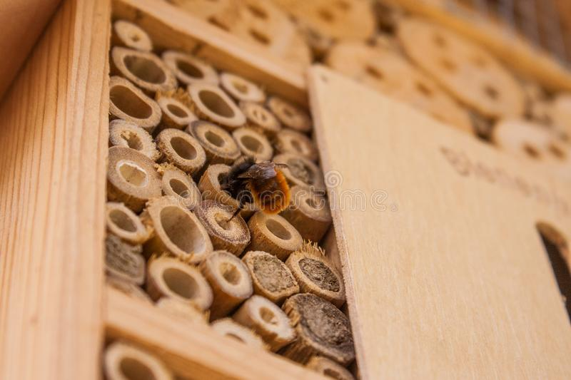 A wild bee building its home. In a wooden bee hotel royalty free stock photo