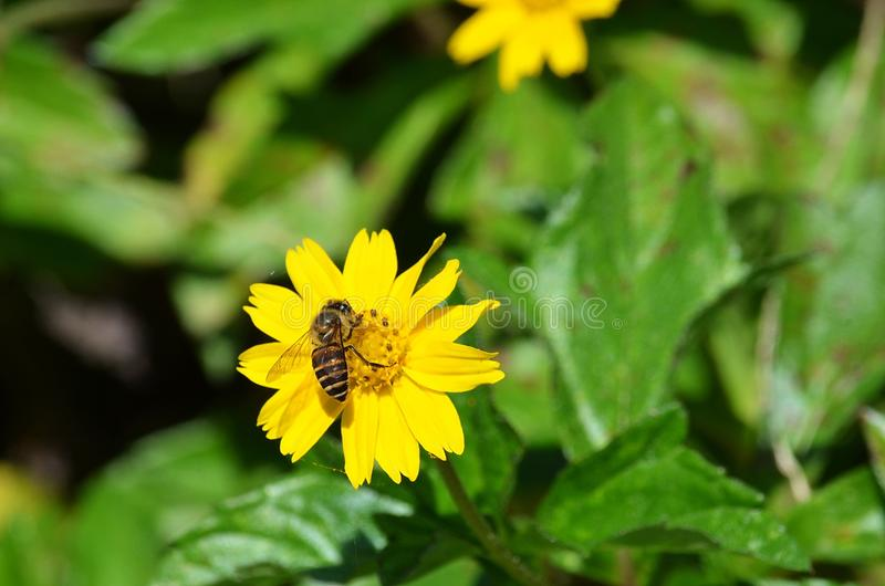 Honeybee vertical on a yellow daisy-like wildflower in Krabi, Thailand royalty free stock image