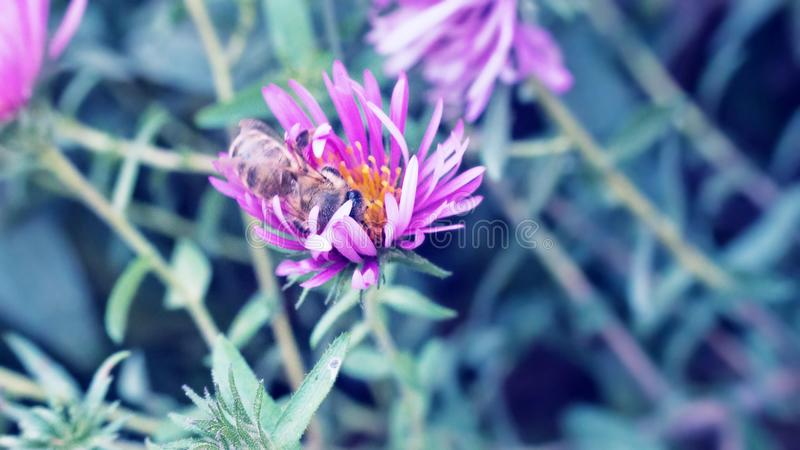 Wild bee collects nectar on wild flowers stock photos