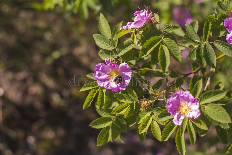 Wild bee pollinating a pink flower of a dogrose royalty free stock images