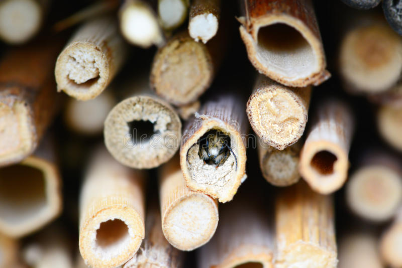 Wild bee watching out of a hole in insect shelter. solitary bee.  stock photography
