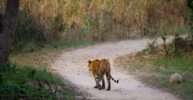 Wild Bengal Tiger is going on the road in the jungle. India. Bandhavgarh National Park. Madhya Pradesh. royalty free stock photos