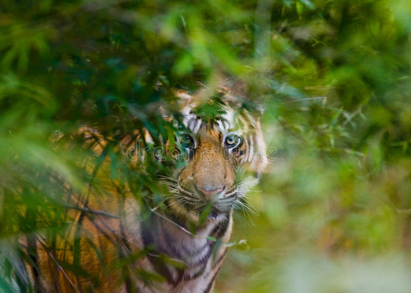 Wild Bengal tiger looks out from the bushes in the jungle. India. Bandhavgarh National Park. Madhya Pradesh. An excellent illustration stock images