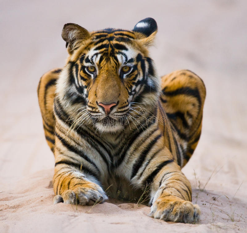 Wild Bengal Tiger lying on the road in the jungle. India. Bandhavgarh National Park. Madhya Pradesh. An excellent illustration stock images
