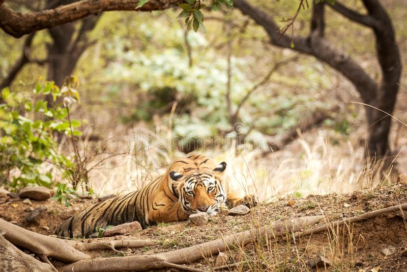 Wild Bengal Tiger Panthera Tigris Tigris having rest during hot day in its natural habitat.Ranthambore National Park, Rajasthan royalty free stock photography