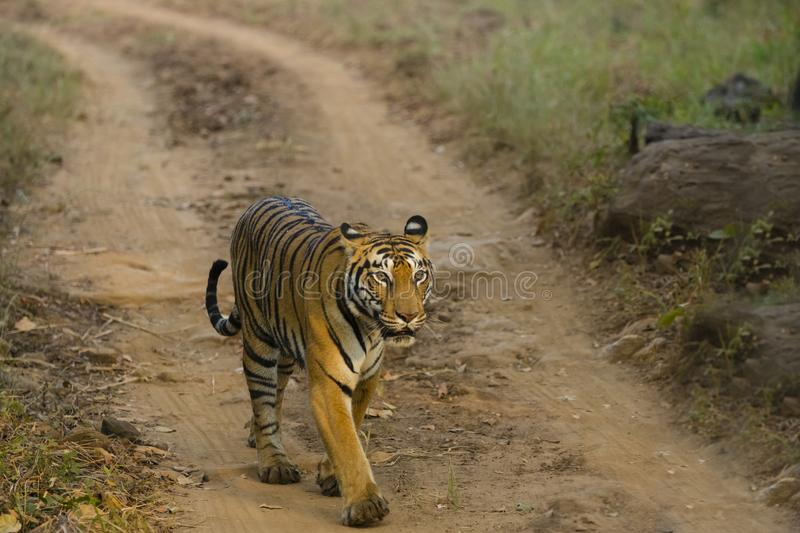 Wild Bengal Tigress Walking in Sunlight. A wild Bengal tigress walking along a dirt path in the sunlight royalty free stock photo