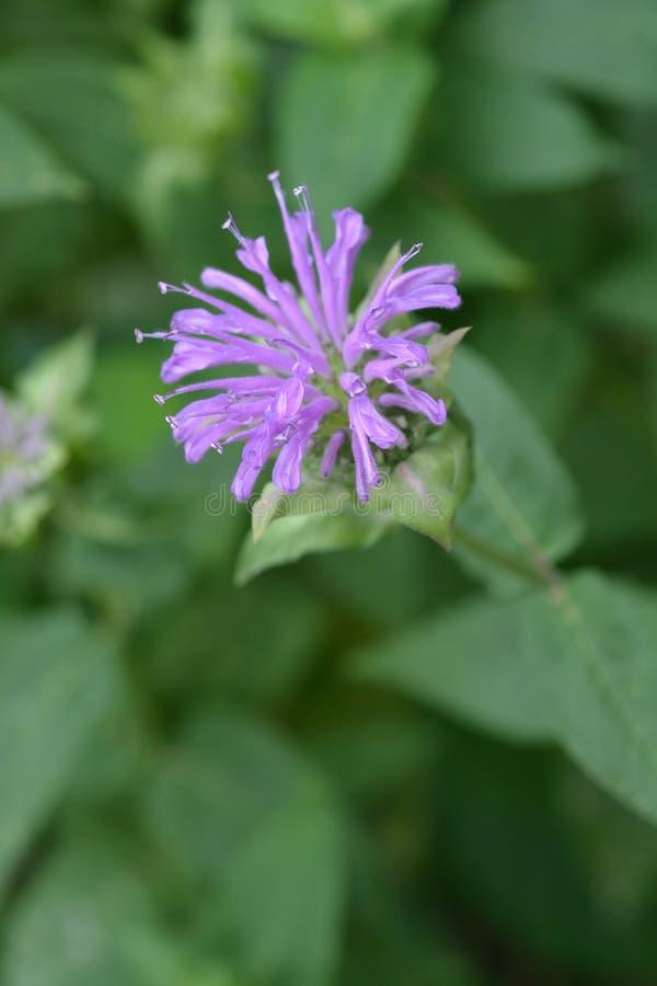 Wild bergamot. Flower - Latin name - Monarda fistulosa stock photo