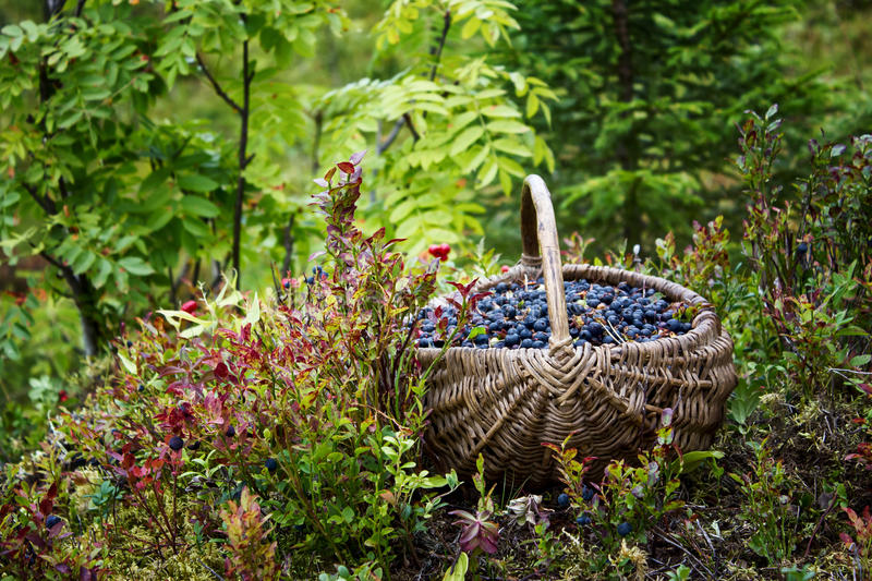 Wild berries in a basket royalty free stock photos