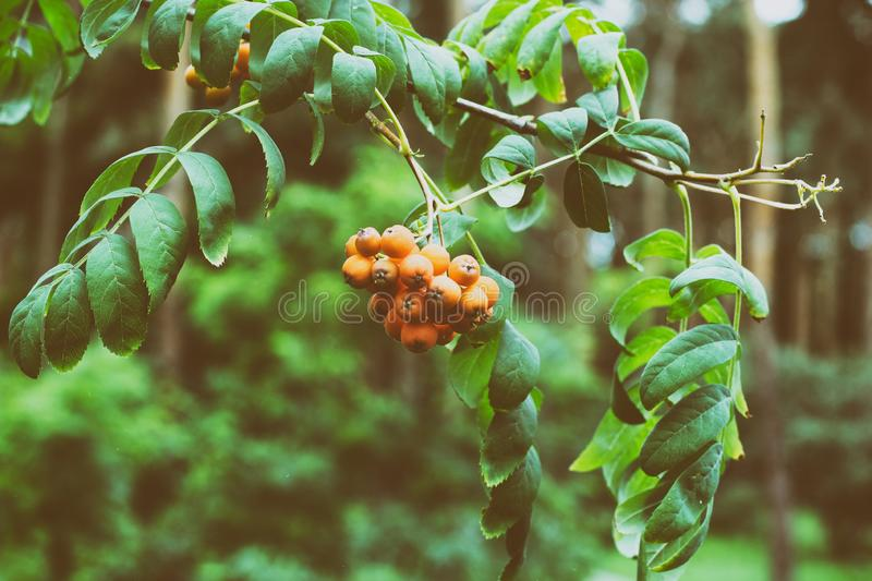 Wild berries hanging on a tree from Sorbus aucuparia, commonly called rowan and mountain ash. Rowanberry is common stock image