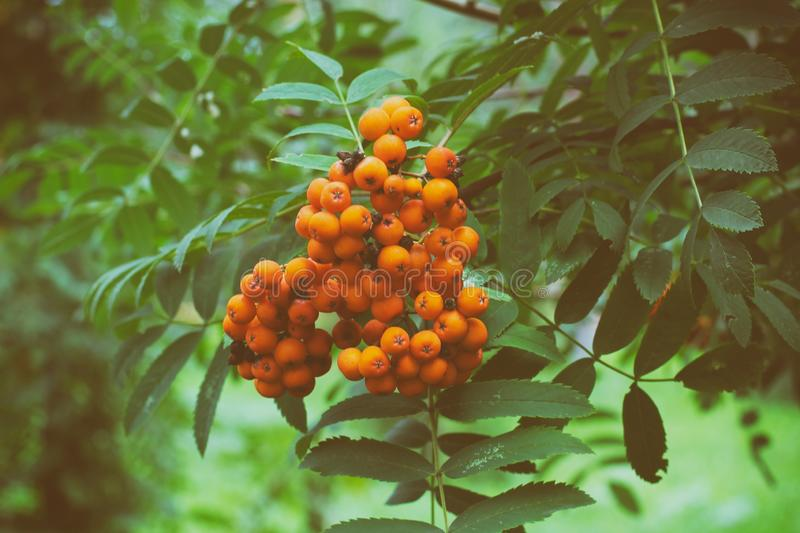 Wild berries hanging on a tree from Sorbus aucuparia, commonly called rowan and mountain ash. toned image.  stock image