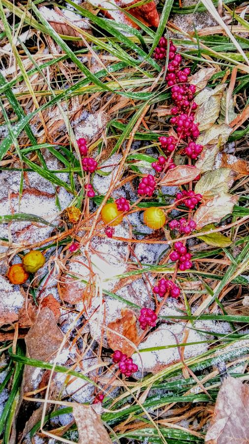 Wild berries in the Kansas winter royalty free stock photography