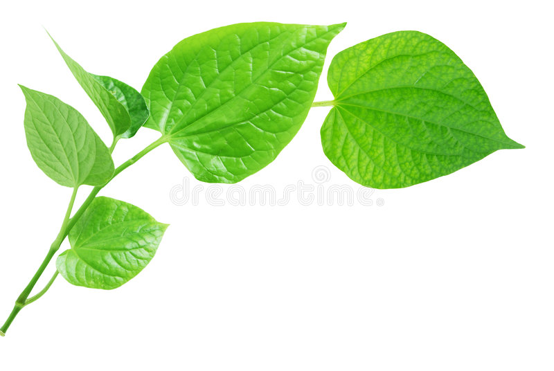 Wild betal leaves royalty free stock images