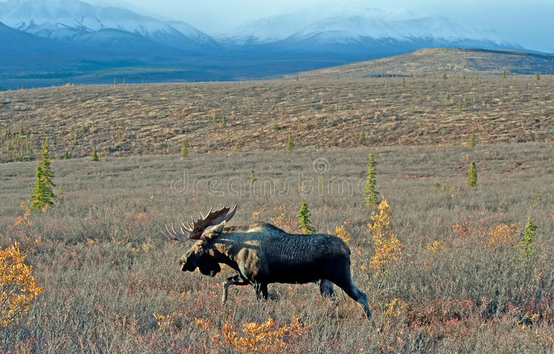 Wild Big Bull Moose. 4x3 brow tine bull moose with a mountain background in Denali park Alaska royalty free stock photo