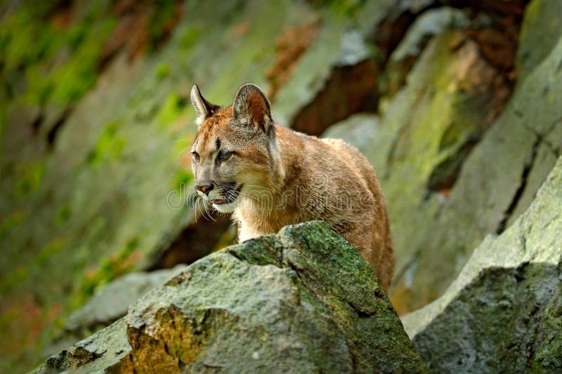 Wild big cat Cougar, Puma concolor, hidden portrait of dangerous animal with stone, USA. Wildlife scene from nature. Mountain Lion royalty free stock photos