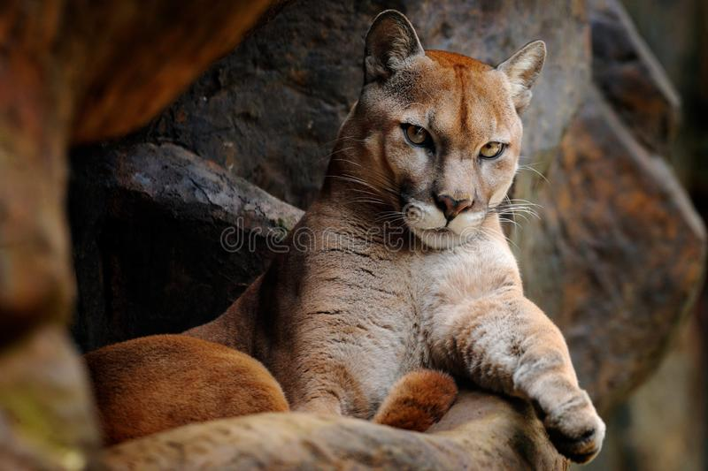 Wild big cat Cougar, Puma concolor, hidden portrait of dangerous animal with stone, USA. Wildlife scene from nature. Mountain Lion. In rock habitat royalty free stock images