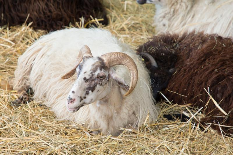 Wild big horned sheep lying on straw stock photos