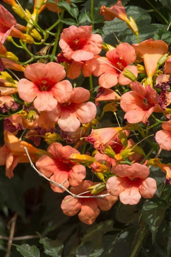 Wild Bignonia Plant Flower stock photography
