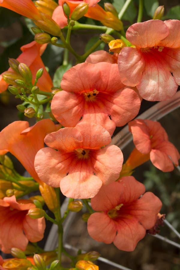 Wild Bignonia Plant Flower stock images