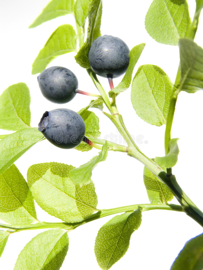 Wild bilberry royalty free stock photos