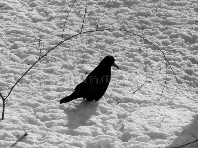Wild bird on black and white image. Close up royalty free stock photography