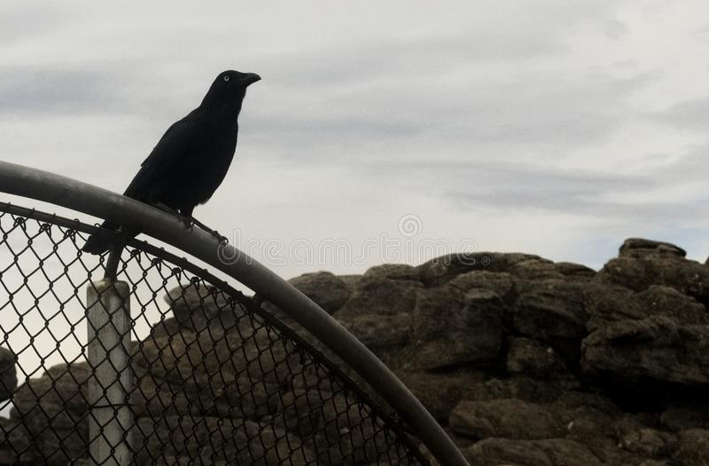 Wild bird crow black, in pinnacles Australia. Wild bird crow black clever stock photography