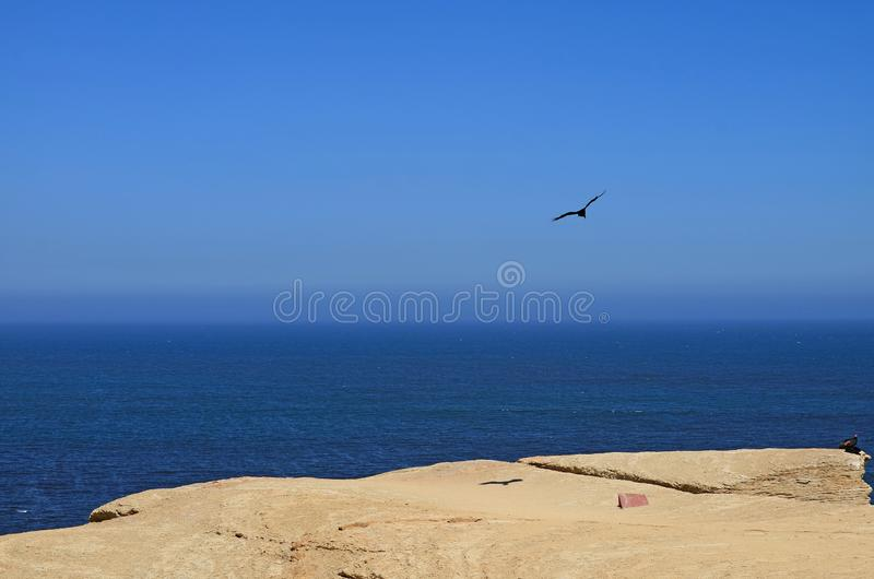 Wild bird flying and two others perching on the cliff at Paracas National Reserve in Ica, Peru with blue Pacific ocean in backgrou. Nd, Condor, Eagle royalty free stock photo