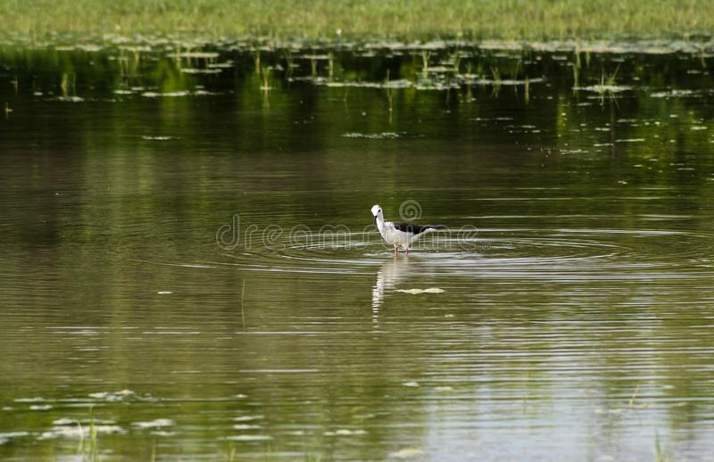 Wild bird in a natural reserve. A wild bird in a lagoon of the natural reserve of Cona isle royalty free stock photo