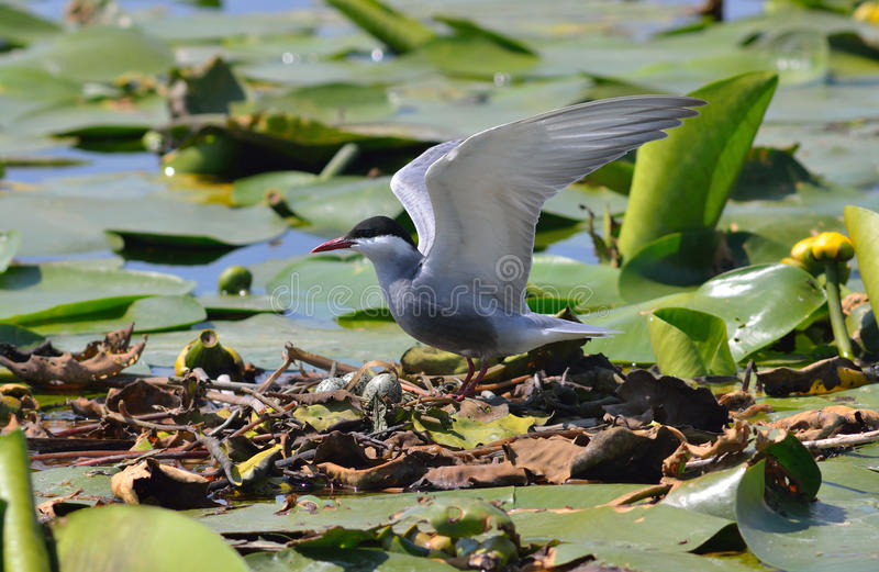 Download Wild bird on the nest stock photo. Image of brood, pond - 25849578