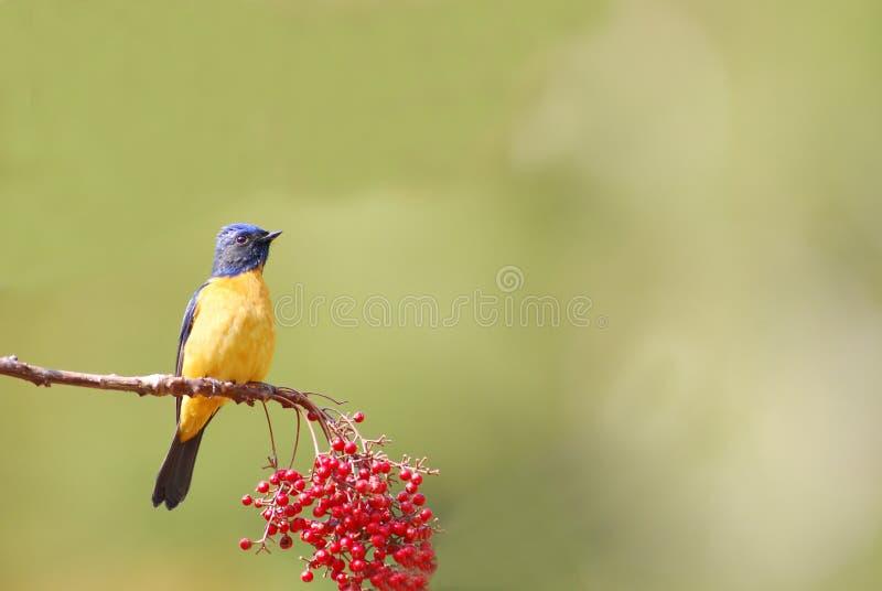 Download Wild bird (niltava vivid) stock image. Image of tree - 13461155