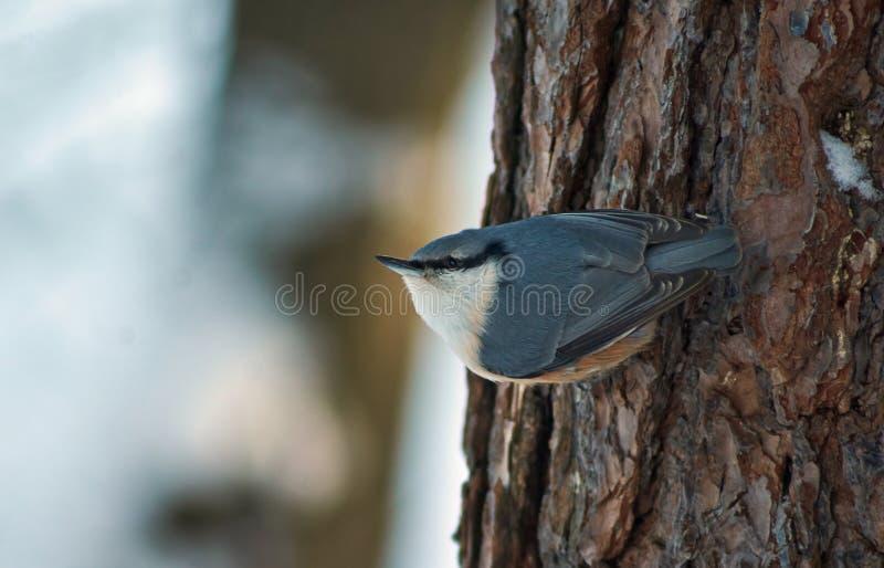 Wild bird nuthatch in winter forest. stock image