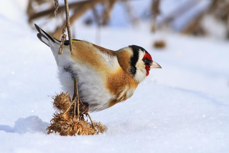 Wild bird pressed the snow of woolly burdock seeds. Wildlife, winter survival, cold and frost royalty free stock photos
