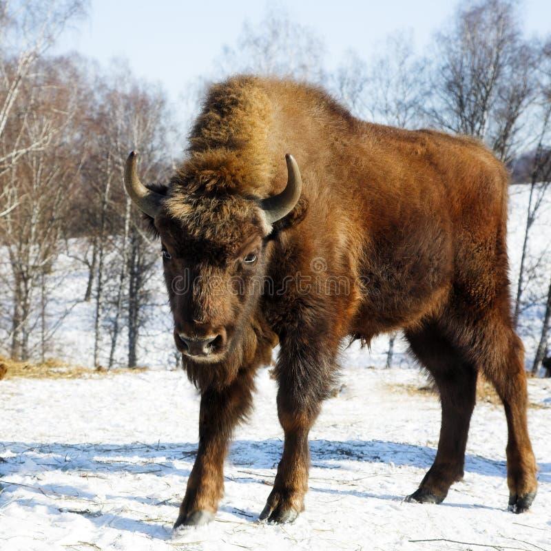 Wild bison stock image