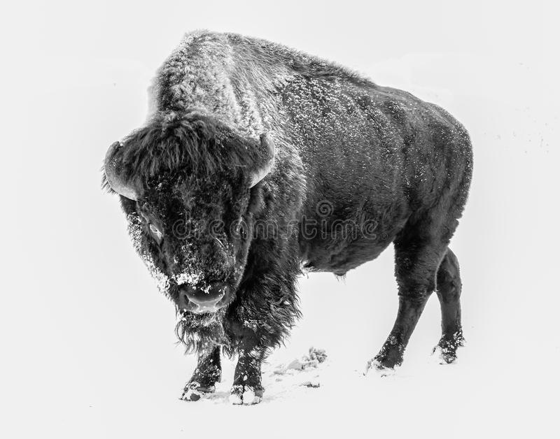 Wild Bison in a Blizzard royalty free stock images