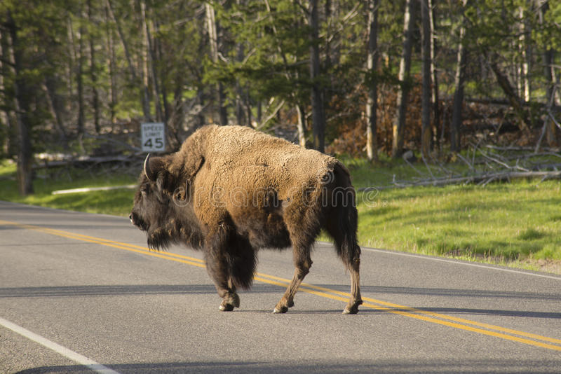 Download Wild Bison Obeying A Speed Sign. Stock Image - Image of creature, herbivore: 32874729