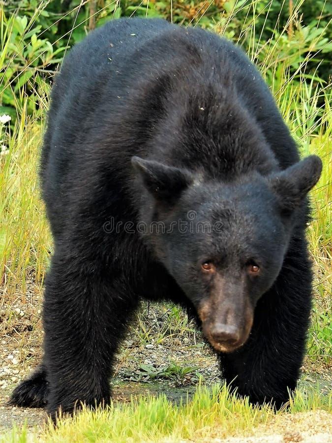 Wild Black Bear. Black Bear encounter near Banff National Park Alberta Canada royalty free stock photography