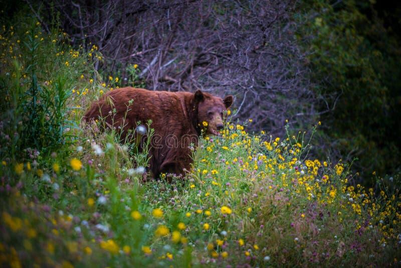 Wild Black Bear in field of flowers. Black Bear California Sequoia Kings Canyon National Park USA CA stock photos