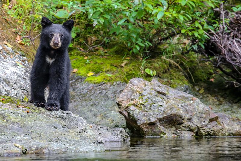 Wild black bear on the Rouge River near Clay Hill in southern Oregon. Wild black bear cub seen while rafting on the wild and scenic Rouge River in Oregon, USA stock photography