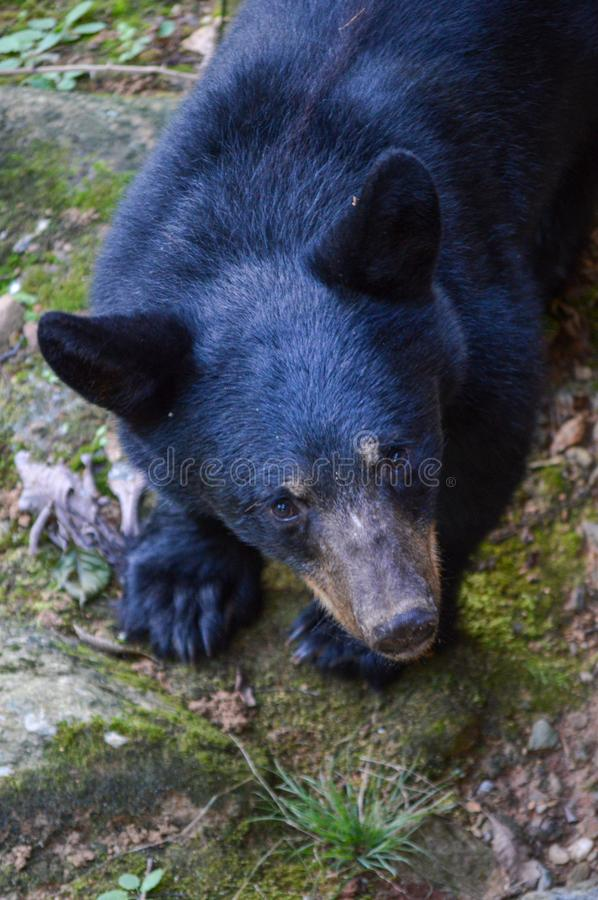 Wild black bear walking around out in the woods stock image
