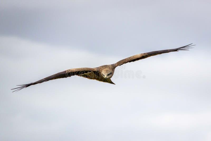Wild Black Kite in Flight, Werribee, Victoria, Austrália, agosto de 2019 fotos de stock royalty free