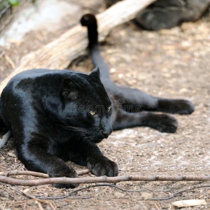 Black leopard royalty free stock photos