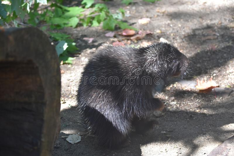 Beautiful black porcupine standing on its back legs in the shade royalty free stock photography