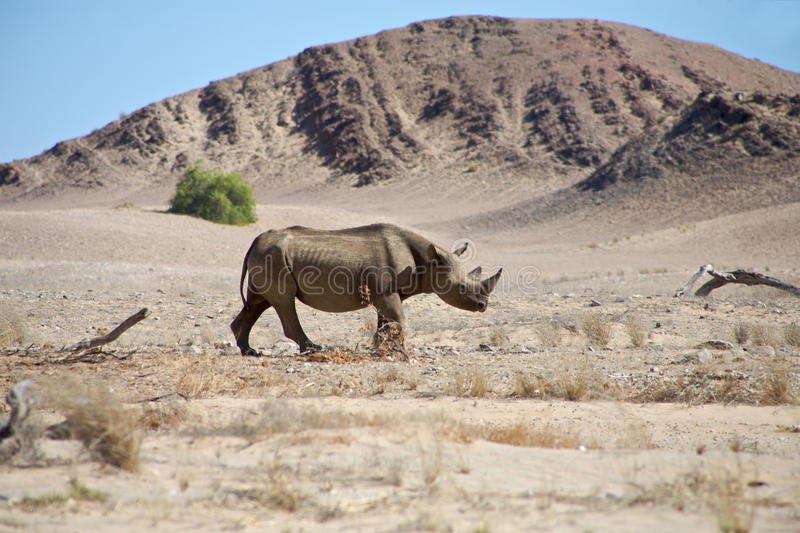 A wild black rhino in the Kaokoland. A wild black rhino in the Kaokoland walking on his own in the semi arid desert close to the Skeleton Coast Desert, Namibia stock photo