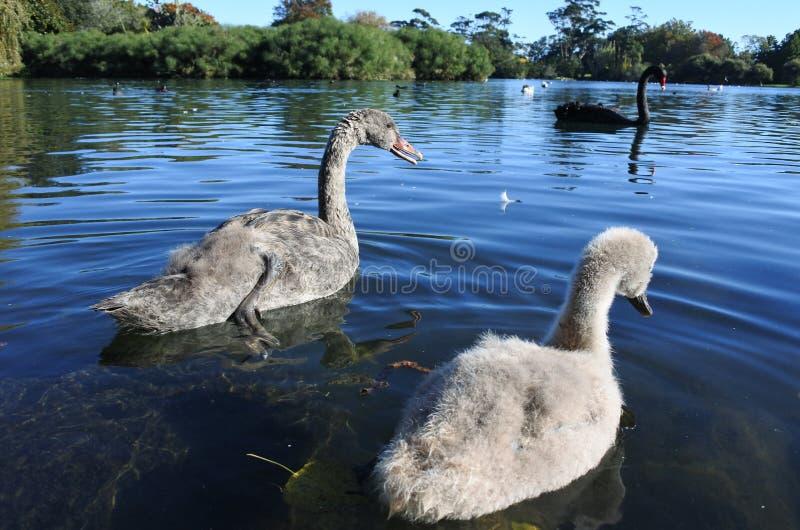 Wild Black Swan family stock photos