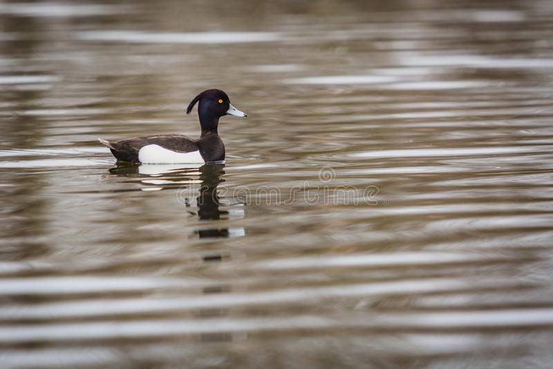 Wild black and white water bird, tufted duck. A male with grey beak and yellow eye swimming in lake with waves royalty free stock photography