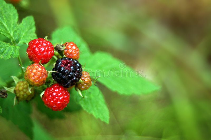 Wild Blackberries royalty free stock image