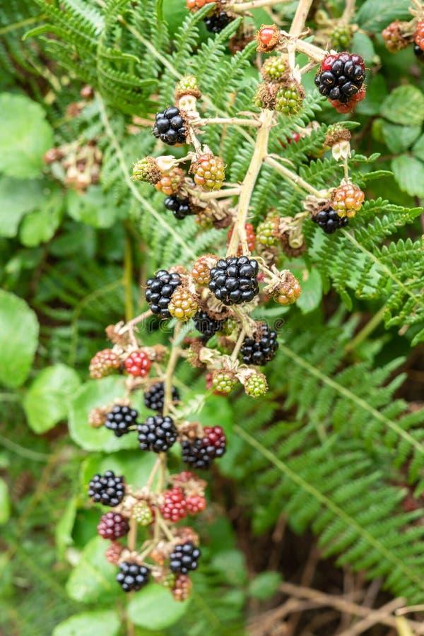 Wild blackberries on a bush royalty free stock photos